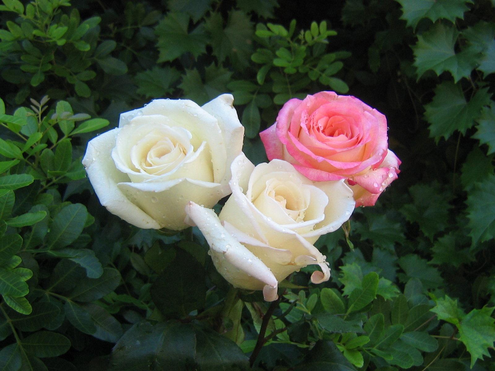 Boje ruže - Page 18 Roses_bouquet_3487