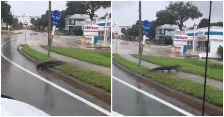 """Видео: Алигатори нова закана за Флорида по ураганот """"Ирма"""""""